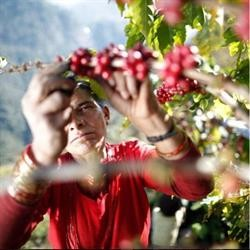 Kaffebønner fra Himalaya